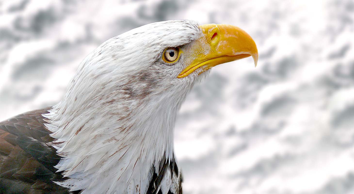 Eagle in winter