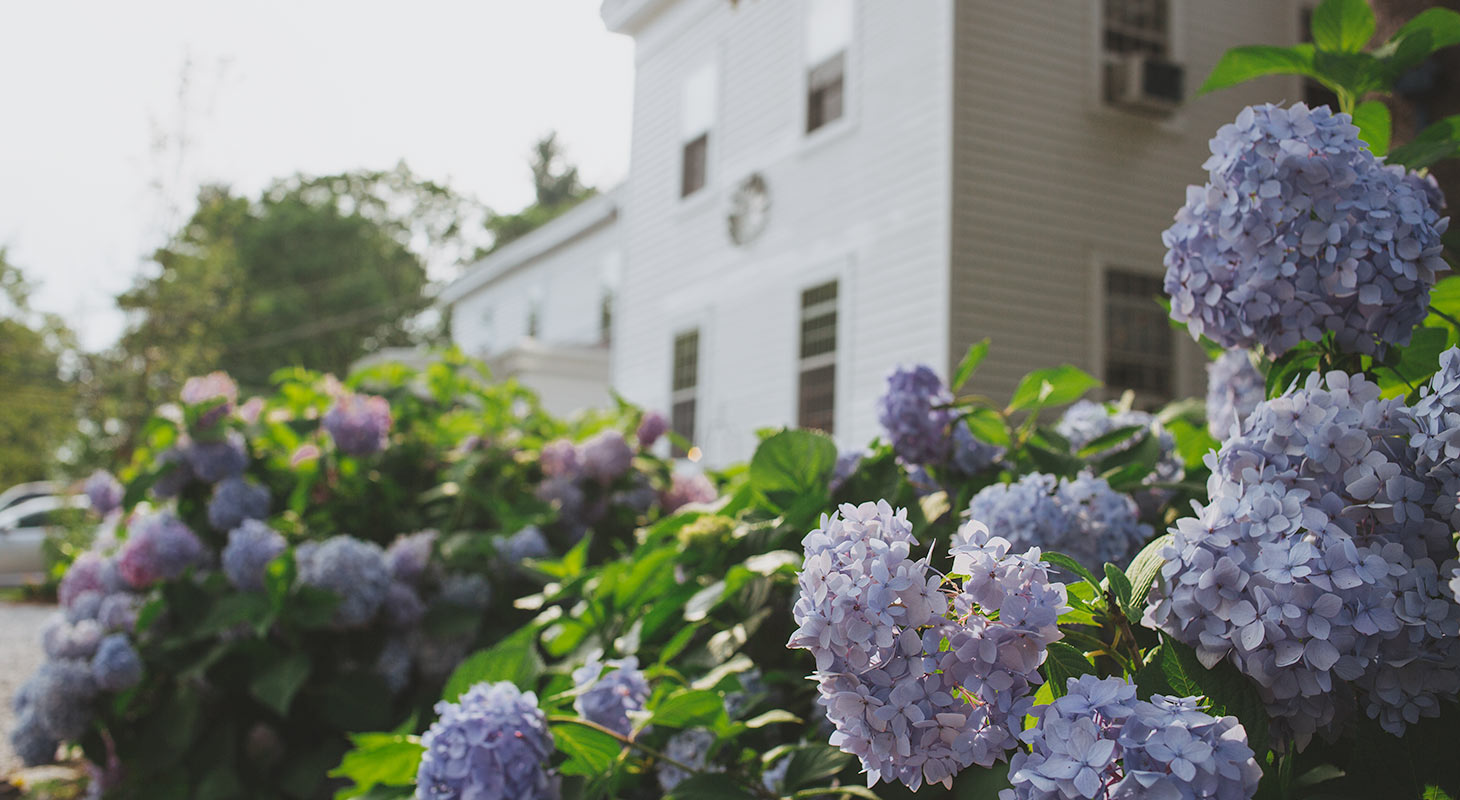 hydrangea flower clusters with Riverwind Inn in the background
